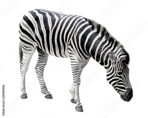 Poster Zebra Young zebra isolated on white background with clipping path, Standing side view.