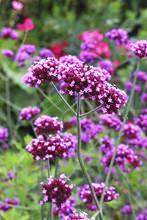 Purple Verbena Blossoms
