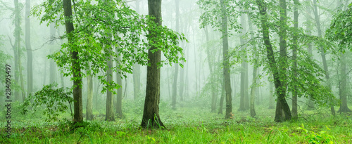 Obraz Panoramic Forest of Beech Trees with Fog in Springtime - fototapety do salonu
