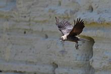 Fliegende Dohle (Corvus Monedula Soemmeringi) - Jackdaw