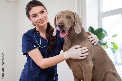 obraz lub plakat Veterinary surgeon and weimaraner dog at vet clinic