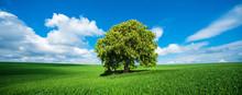 Solitary Horse Chestnut Tree In Full Bloom, Green Field,  Spring Landscape Under Blue Sky