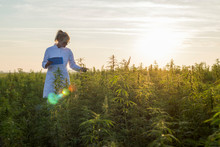 Scientist Observing CBD Hemp P...