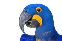 Hyacinth Macaw Bird