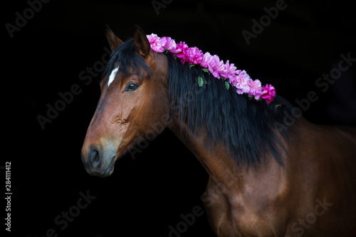 Cuadros en Lienzo Bay horse with pink pions in mane on black background