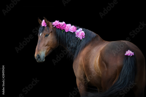 Fotografía Bay horse with pink pions in mane on black background
