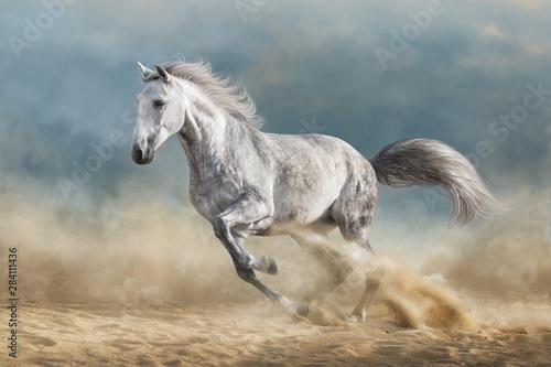 Fotografia Grey horse galloping on sandy field against dramatic blue sky