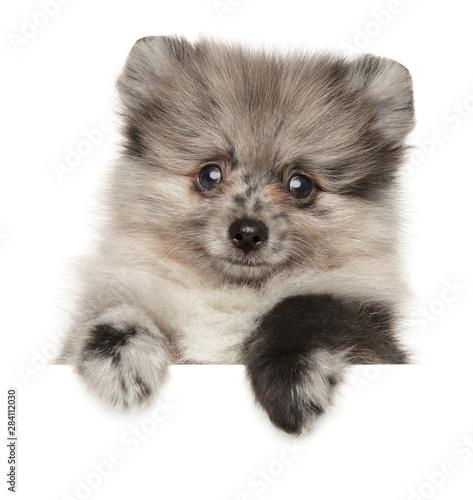 Pomeranian Spitz puppy above white banner Canvas Print