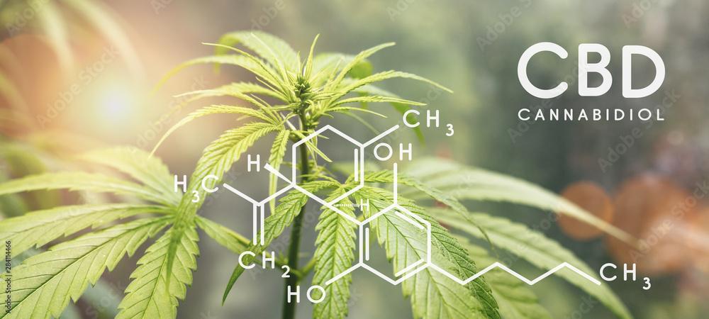 Fototapety, obrazy: Cbd formula. Cannabidiol molecule structure compound with plant. Medical marijuana molecules, cannabidiol biochemistry formula. Chemistry addiction