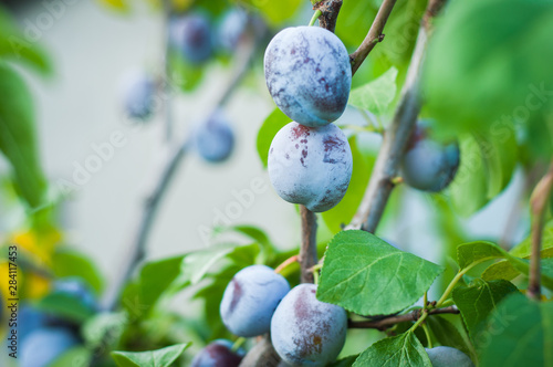 Fotomural  Plum grows on a tree