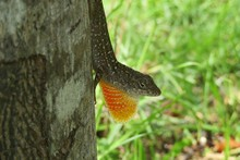 Brown Florida Anole Lizard