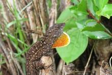 Brown Florida Anole Lizard