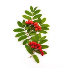 Red Cluster Of Rowan Berries With Leaves Isolated On White