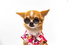 Chihuahua Dog Wearing A Fresh ...