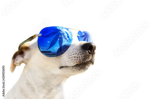 Dog Jack Russell in sunglasses, which leaf cannabis, marijuana. Animal CBD Oil Concept. Isolated on a white background