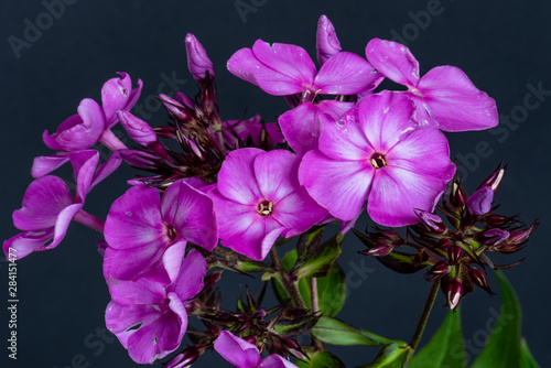 Obraz na plátně  Color floral macro of a single isolated cluster of violet phlox blossoms, buds a