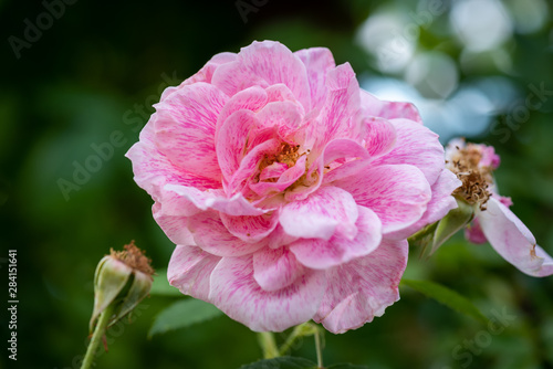 Fotografie, Obraz  Color outdoor floral macro of a single isolated pink white rose veined blossom o