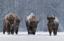 Winter Image With Four Aurochs...