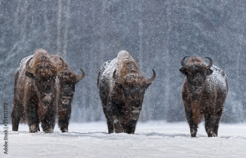 Valokuva Winter Image With Four Aurochs Or Bison Bonasus, The Last Representative Of Wild Bulls In Europe