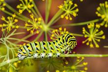 Black Swallowtail Caterpillar ...