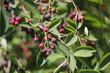 canvas print picture - Pflanze Felsenbirne (Amelanchier) mit reifen, roten Beeren und Früchten als close up.