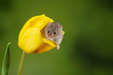 Adorable Cute Harvest Mice Micromys Minutus On Yellow Tulip Flower Foliage With Neutral Green Nature Background