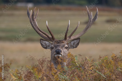 Recess Fitting Deer Red Deer Stag looking over the top of bracken