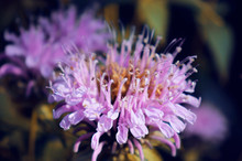 Outdoor Wild Bergamot Or Bee Balm Herbs Close Up In The Natural Light.