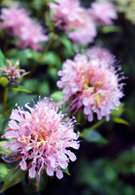 Outdoor Wild Bergamot Or Bee B...