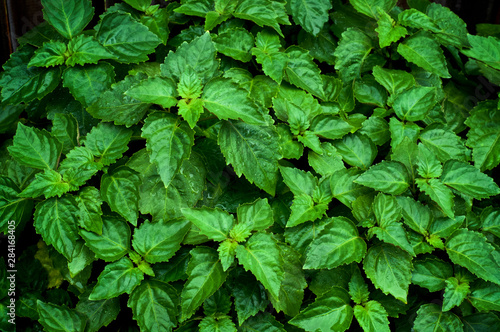 Fotografía  Close up of living vibrant green Pogostemon cablin patchouli plant eaves wet from rain or dew, medicinal plant used in aromatherapy