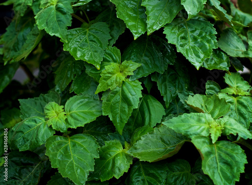 Fotografía  Lush vibrant green Pogostemon cablin patchouli plant eaves wet from rain or dew up close, medicinal plant used in aromatherapy