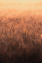 Wheat Field At Golden Hour