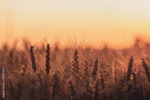 Fotografie, Tablou  Wheat field at golden hour