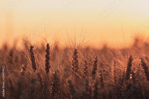 Obraz na plátně  Wheat field at golden hour