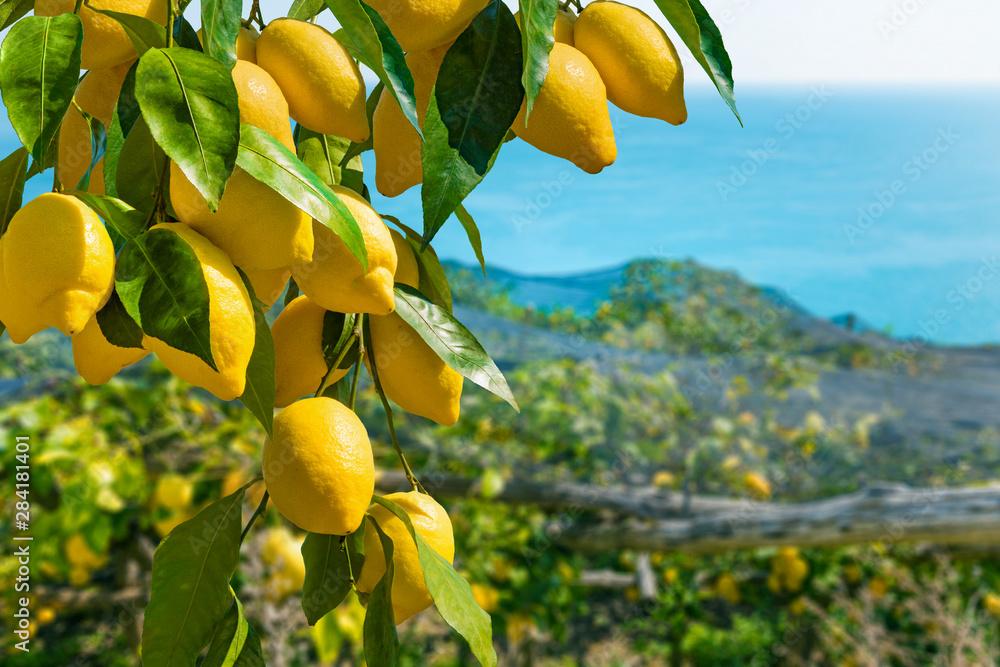 Fototapeta Bunches of fresh yellow ripe lemons with green leaves on lemon tree branches