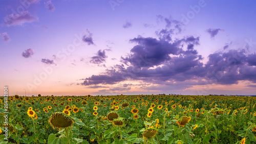 Fotomurales - Summer landscape: beauty sunset over sunflowers field. Panoramic views. Agriculture