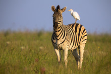 Zebra Standing On A Hill With ...