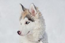 Cute Siberian Husky Puppy Clos...