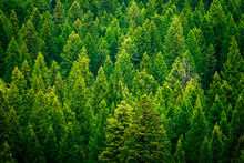 Forest Of Pine Trees In Wilder...
