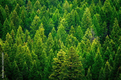 Forest of pine trees in wilderness mountains rugged - 284203089