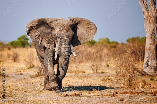 Photo Big elephant walking in an african park