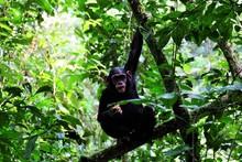 Schimpanse Sitzt Mit Obst In Der Hand Im Baum