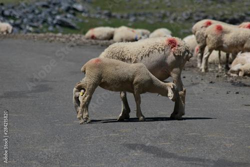 Valokuvatapetti Amor fraternal entre corderos en medio de una carretera de montaña