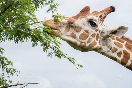 Giraffe eating from bush in the Zoo Canvas Print