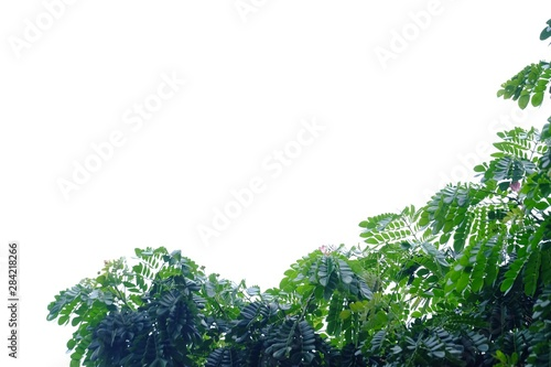 Tropical tree leaves on white isolated background for green foliage backdrop Canvas Print