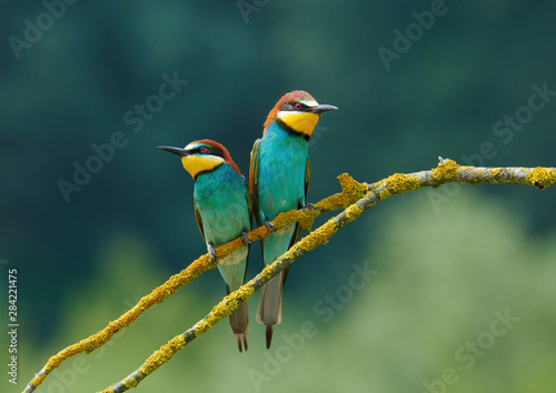 Two beautiful European bee-eaters (Merops apiaster) Canvas Print