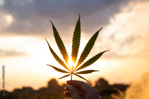 Fotografia  Leaf of cannabis in the hand in the setting sun on blurred background