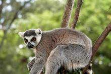 Curious Lemur In A Tree