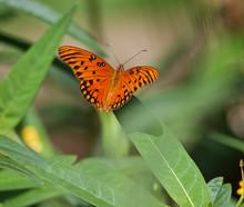 Orange Gulf Fritillary Butterfly On A Green Leaf At Sunken Gardens In St. Petersburg, Florida