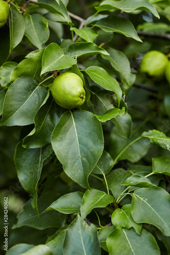 Obraz na plátně Close-up view go pears on branch in home garden